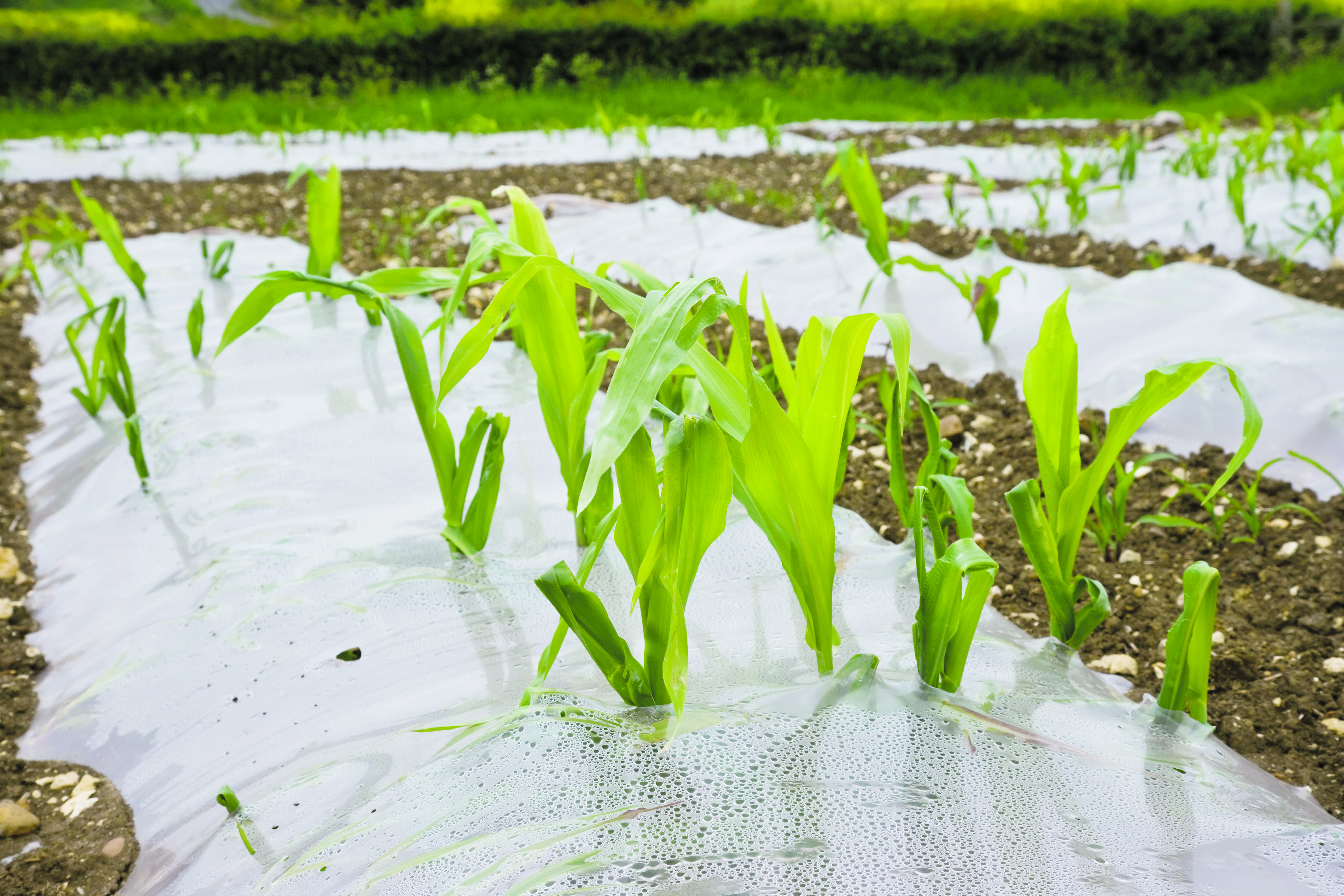 Maize growing under plastic